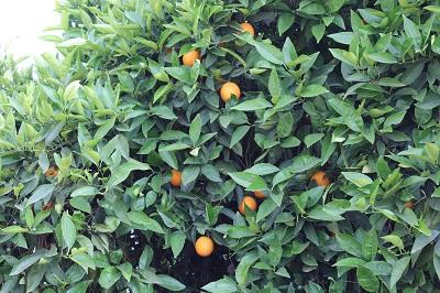 Oranges Orchard